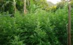 Nouvelles saisies de plants de paka à Huahine et Punaauia