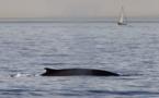 Hausse des populations de baleines et gorilles des montagnes