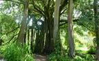 Le Banian du jardin botanique Harrison Smith