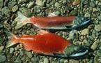 """Au Canada, de """"super-saumons"""" rouges capables de survivre au réchauffement"""