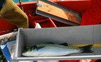 Campagne de marquage de bars: le poisson livre quelques secrets à l'Ifremer