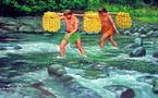 La cueillette annuelle des oranges à tamanu
