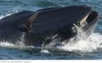 En Afrique du Sud, un plongeur miraculé avalé par une baleine