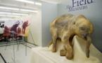 """Le mammouth et la souris: des cellules """"réveillées"""" après 28.000 ans"""