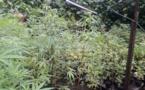 644 plants de cannabis découverts à Vairao