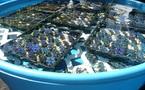 L'exportation de bénitiers destinés à l'aquariophilie : un tremplin pour les Tuamotu de l'Est