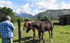 L'écurie Tenahe, la pouponnière des chevaux de course made in fenua