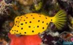L'incroyable talent de chanteur de nos poissons-coffres