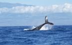 """Canada: trois espèces de baleines """"en péril"""""""