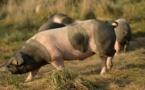 Hong Kong va abattre 6.000 porcs après la détection d'un cas de peste porcine