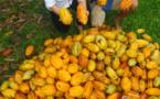 Carnet de voyage - C'est la saison du cacao !