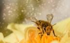 Le déclin des populations d'abeilles menace la sécurité alimentaire mondiale, selon la FAO