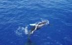 Les premières baleines déjà observées au fenua
