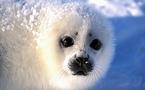 Canada: de nombreux bébés phoques meurent en raison de l'absence de glaces (étude)