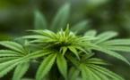 USA: les morts par overdose d'opiacés diminuent quand le cannabis est légal
