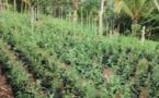 1200 pieds de paka découverts sur un motu de Rangiroa