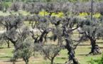 """Bactérie """"tueuse d'oliviers"""" : la crise sous-estimée, selon les oléiculteurs corses"""