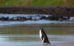 Australie: un manchot reprend la mer, remis en forme après un voyage épuisant