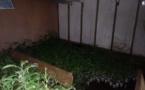 825 plants de cannabis découverts à Taiarapu Est