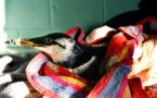 Une vague de chaleur marine en 2015 a tué plus d'oiseaux que la marée noire de l'Exxon-Valdez