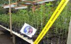 Saisie de 3.500 plants de cannabis au fenua aihere