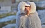 Les mères babouins pourraient éprouver le deuil