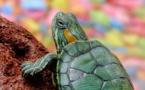 Une sexagénaire promène sa tortue à Rome: 400 euros d'amende