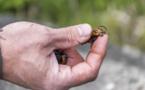 Un frelon asiatique géant repéré pour la première fois aux Etats-Unis