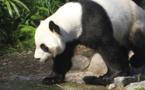 Le Canada va renvoyer deux pandas géants en Chine, par manque de bambou
