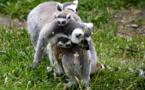 Alerte rouge pour les lémuriens, le grand hamster ou la baleine franche