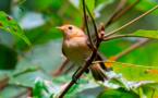 Le Monarque de Tahiti franchit la barre des 100 individus