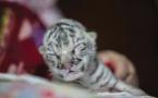 Nicaragua : naissance dans un zoo d'une petite tigresse blanche