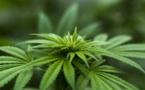 """Lancement d'une consultation citoyenne sur le """"cannabis récréatif"""""""