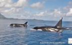 Des orques aperçues aux Îles Sous-le-Vent