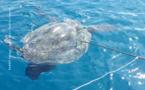 Des tortues braconnées à Tahiti, Raiatea et Bora Bora