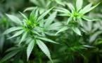 Un colloque consacré au cannabis à la mi-avril