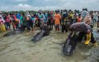 Indonésie : 46 baleines pilotes meurent sur une plage, trois sont sauvées