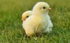 """Faire une omelette sans broyer des poussins: une """"révolution"""" dans l'oeuf"""