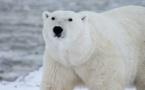 En manque de phoques, les ours blancs se tournent - mal - vers les oeufs