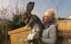 """Le """"plus grand lapin du monde"""" volé en Angleterre"""