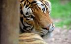 Grosse frayeur dans un village chinois à cause d'un tigre de Sibérie
