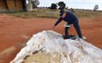 Australie: après les catastrophes climatiques, des fermiers victimes de souris dévastatrices