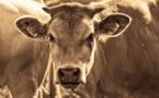 Los Angeles: une vache graciée après son évasion d'un abattoir