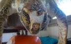 A l'Assemblée de Polynésie, la consommation de chair de tortue est évoquée