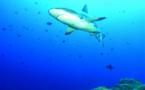 Les requins de Polynésie sont des stars sur YouTube