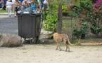 Bora Bora Animara se mobilise pour stériliser les chiens errants