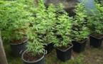 Les gendarmes trouvent 279 plants de cannabis à Papeari
