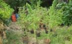 181 plants de cannabis découverts