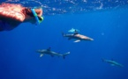 Des requins et des hommes en Polynésie : quelles interactions ?