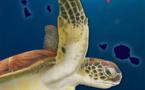 Te Mana o te Moana réédite en tahitien son livret sur les tortues marines